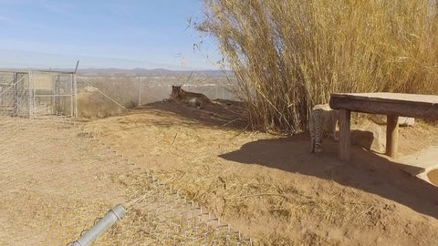 white tiger jumps up to sun shelter and growls gimbal camera smooth pan