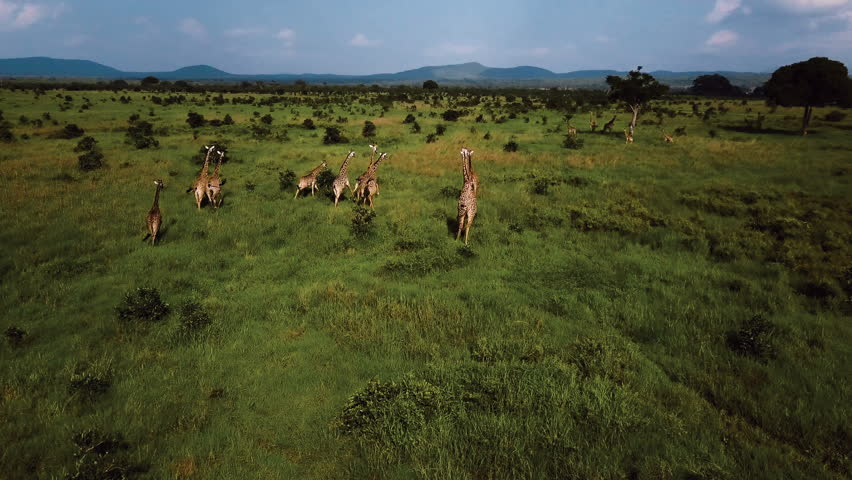 AERIAL: Giraffes in Tanzania safari Mikumi #1007942614