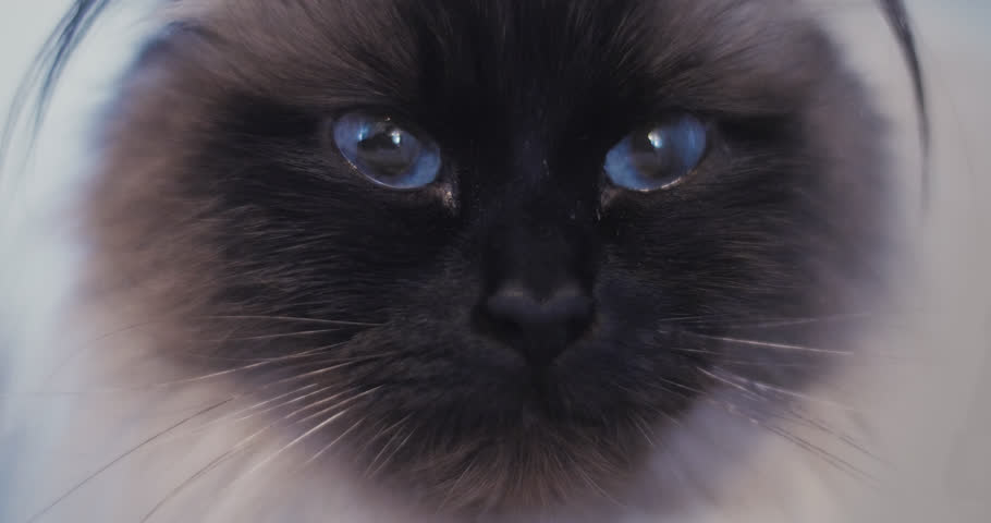 Extreme Close Up of Ragdoll Cat With Blue Eyes