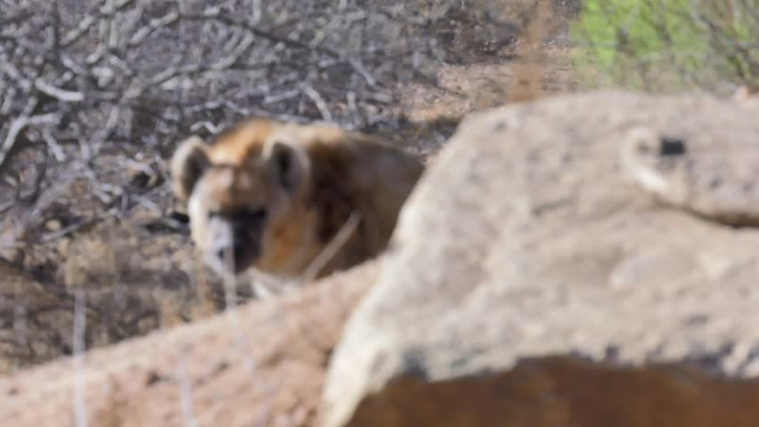 spotted hyena appears from behind rock and approaches