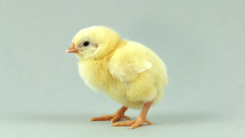 Yellow Baby Chick Close Up Chirping Loudly With White ...