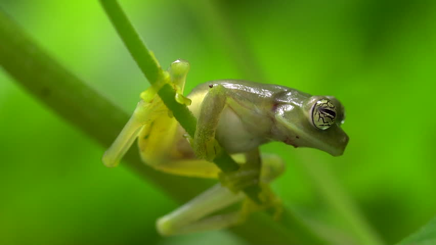 Glass Frog Sachatamia ilex jumps in slow motion. In humid tropical rainforest on the western Andean slopes of Ecuador