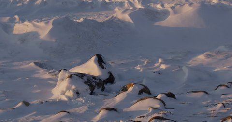 Medium - white arctic hare nestled into snow at base of rock in the arctic sunset