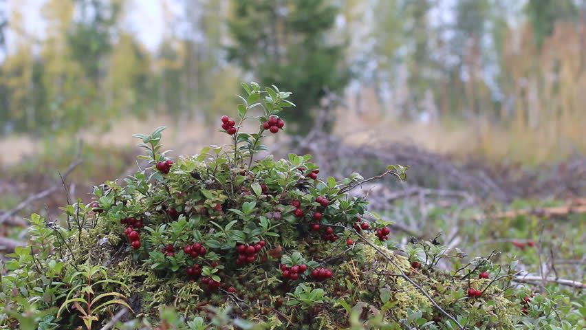 Good crop of cowberry (Vaccinium vitis). Shrub cranberries on bump in middle of old forest felling, phytocenosis. Lots of ripe red berries. Yellow birch trees in background. Autumn landscape