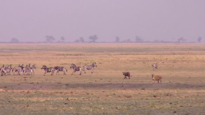 Lionesses hunting zebras in open space in Chobe NP - Botswana HD1080