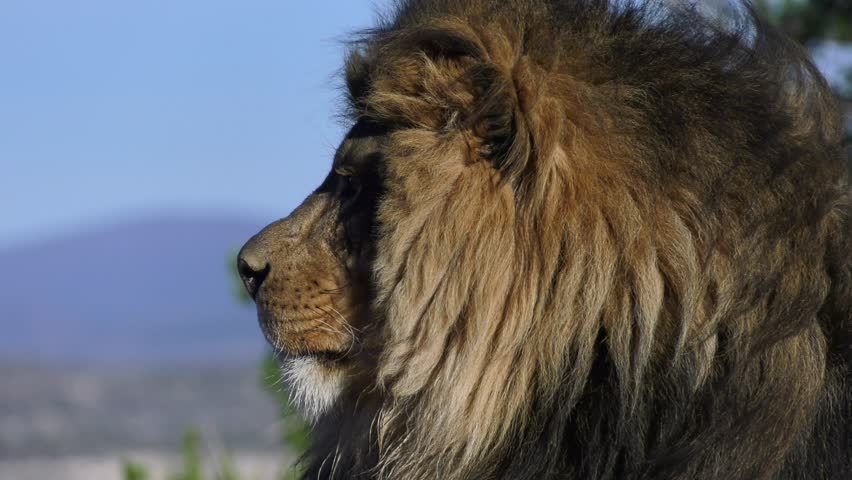 lion looks at camera in magestic slow motion