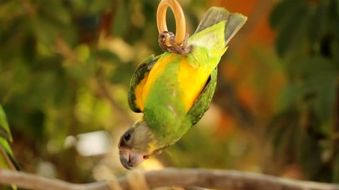 Animal Bird Two green parrots playing on Perch. Senegal Parrot (Poicephalus senegalus) is a Poicephalus parrot which is a resident breeder across a wide range of west Africa.