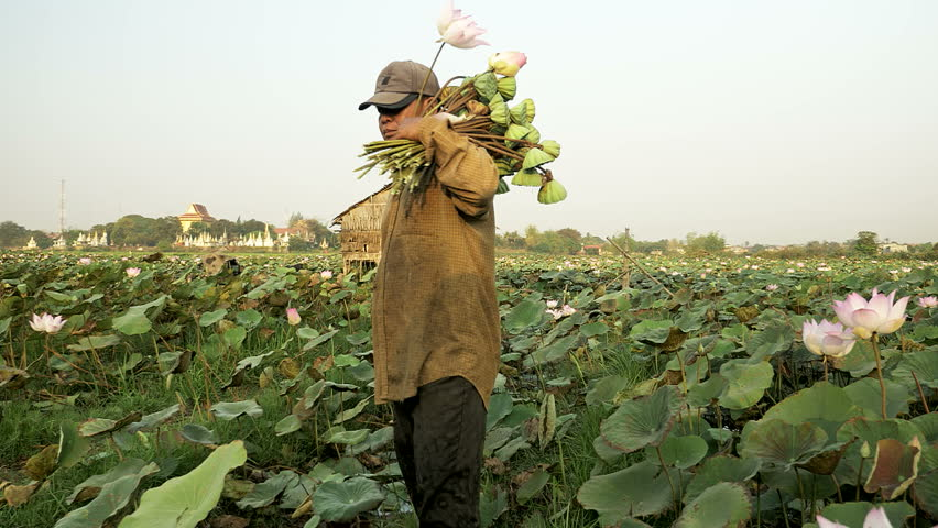 Close Up Of A Farmer Harvesting Lotus Seed Pods And Lotus Flower From A