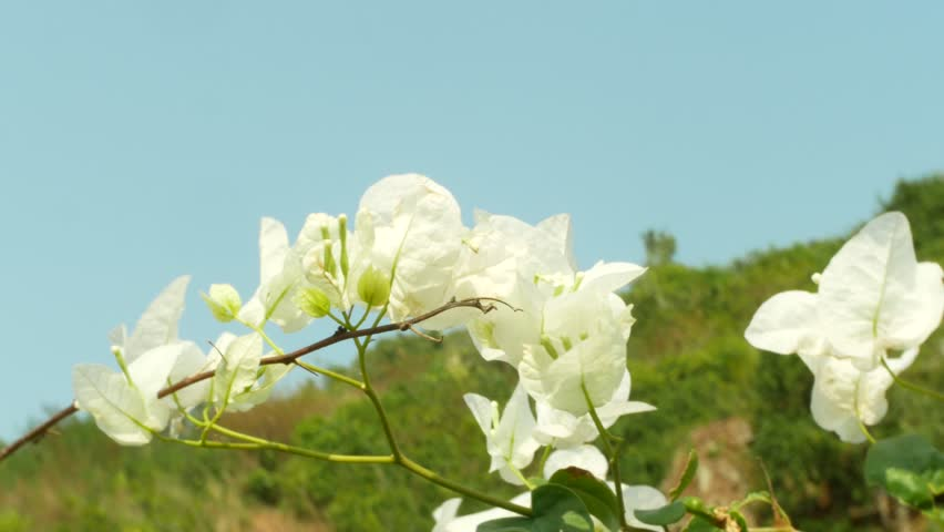 A white Flowers Tree in the Tropical Park, 4k, blur   Shutterstock HD Video #1008238084