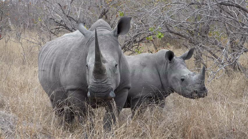 Female white rhino with a calf in the savanna grassland of Africa