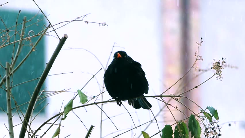 blackbird leans on the branch and is pooped