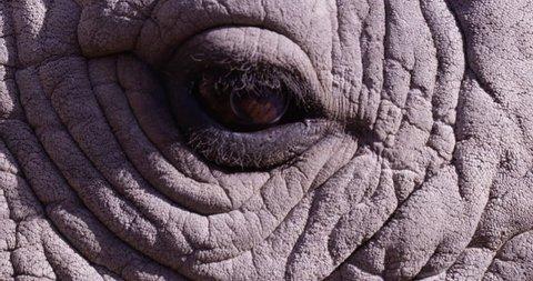 Rhinoceros rhino eye blinking - extreme close up