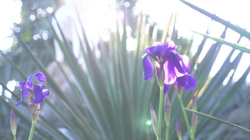 Blue Iris Flower in the Stock Footage Video (100% Royalty-free) 1008428494  | Shutterstock