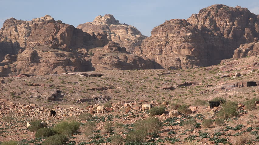 Goats look for vegetation in the stark desert mountain landscape near the ancient city of Petra in Jordan