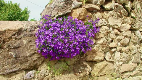 Purple flowers on creeping common harebell with bees, it is Campanula portenschlagiana / wall bellflower