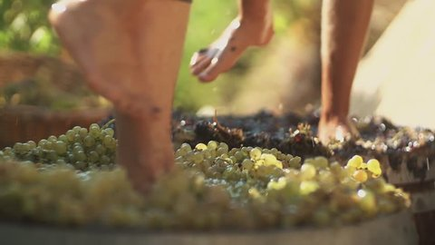 Two pair of unrecognizable male legs squeezes grapes at winery making wine, close up sunny summer day outdoors