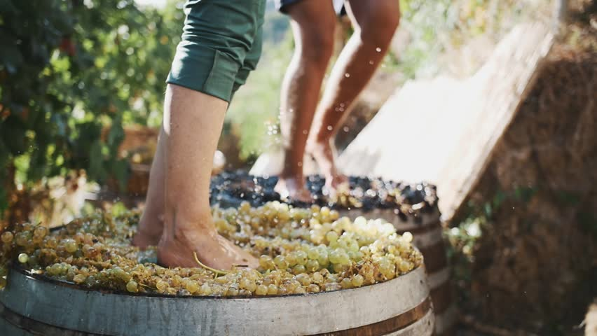 Two pair of unrecognizable men feet squeezes grapes at winery making wine, close up sunny summer day outdoors