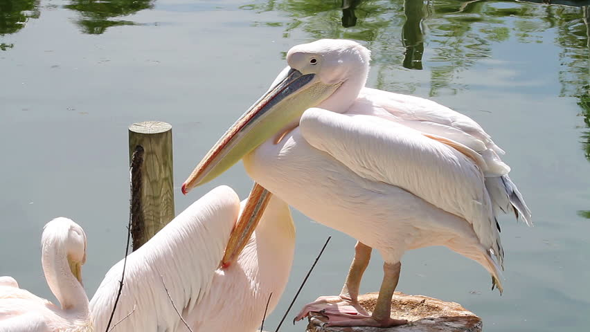 Pelican in a dock