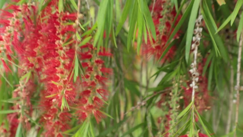 Red flowers and foliage of the weeping willow deciduous tree close up high definition movie clip stock footage.