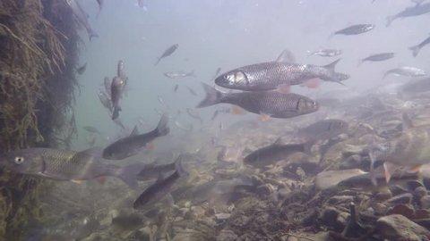 Underwater video from nice river habitat. Swimming close up freshwater fishes Chub, Leuciscus cephalus, Nase Carp, Chondrostoma nasus, Riffle minnow, Alburnoides bipunctatus. Nice freshwater fishes
