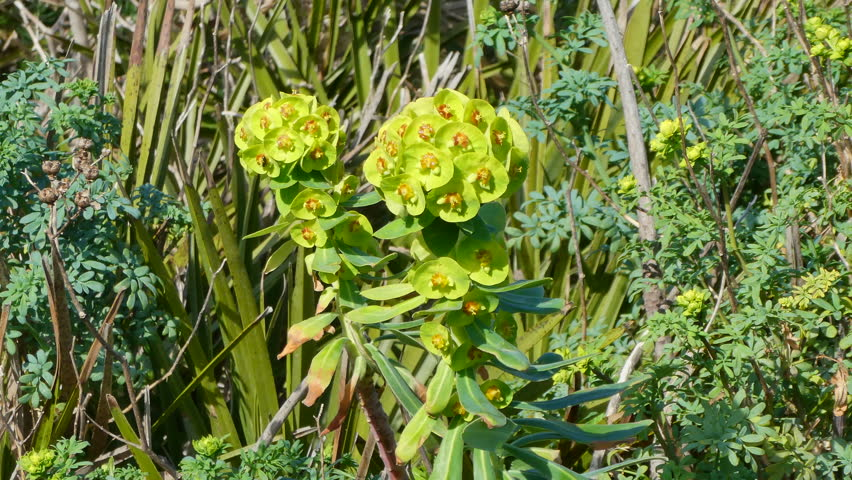 Euphorbia characias shaked by gentle wind in the Capo Caccia natural park in spring