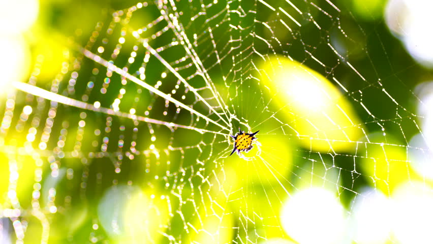 Hosselt's Spiny Spider on spider net in deep tropical forest.Bokeh of green leaf.  | Shutterstock HD Video #1008685594