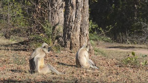 Gray Langur also known as Hanuman Langur in the National Park in India