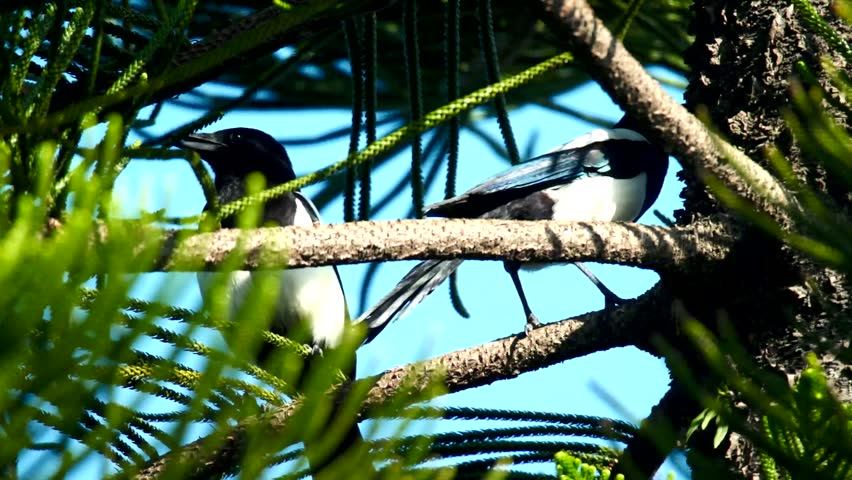 Eurasian magpie (Pica pica serica) is a magpie subspcies living in the Eastern Asia. They are intelligent and territorial avian. Their nests are often well crafted even with steel wire reinforcements.