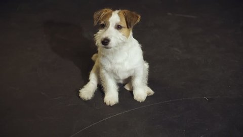 The mischievous puppy Jack Russell Terrier is rolling at floor