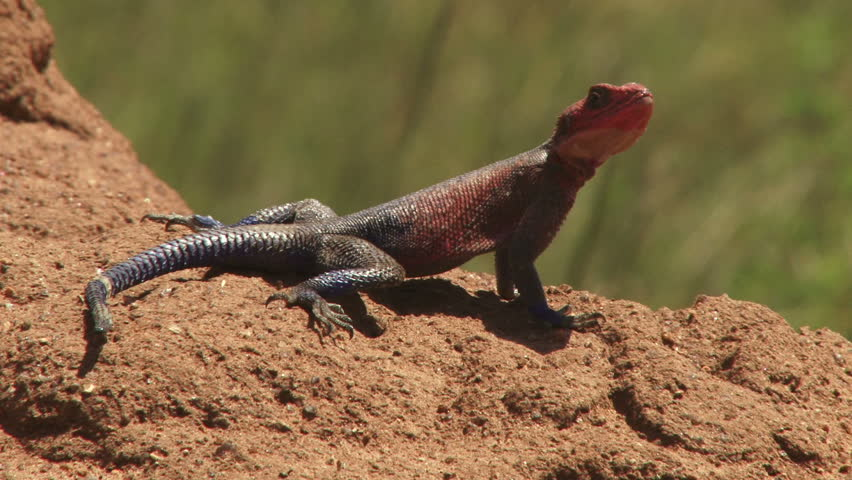 A male Agama lizard nods and leaves the screen.