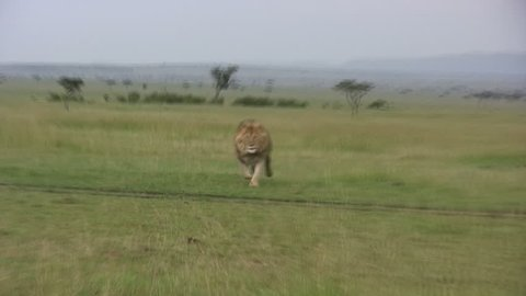 A large male lion running towards the camera.