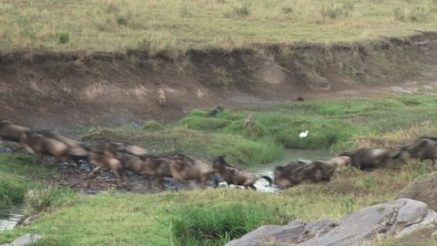 A hyena chasing wildebeests during migration.