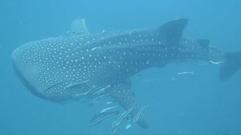 Whale shark encounter, the biggest shark in the world swimming in blue ocean.