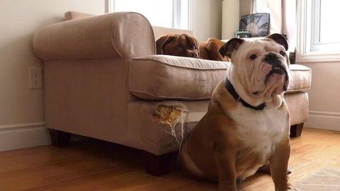 bad dog bulldog puppy and french mastiff on the destroyed sofa