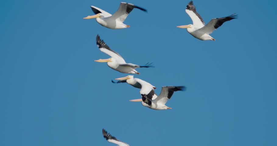 Flock of white pelicans flying. Blue sky in 4K slow-motion at 120 fps.
