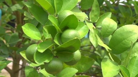 Lime garden. Many lemons are available on lemon trees.
