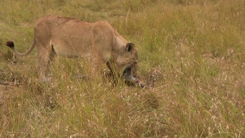 A female lion drags a kill of a wildebeest along tall grass to hide it.