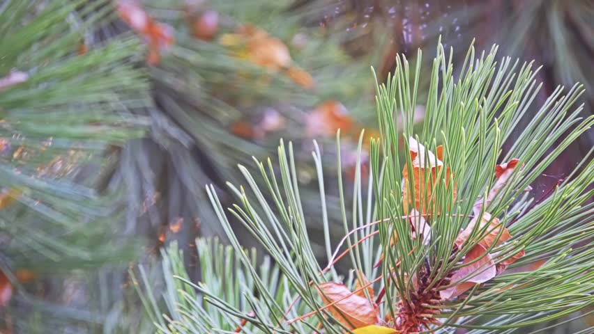 Pinus heldreichii (leucodermis, family Pinaceae), or Bosnian pine, is species of pine native to mountainous areas of Balkans and southern Italy. It can be found in mountains