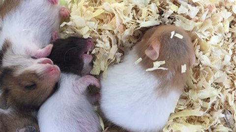 Young Hamsters Sleeping On Sawdust Stock Footage Video (100% Royalty-free)  1008968204 | Shutterstock