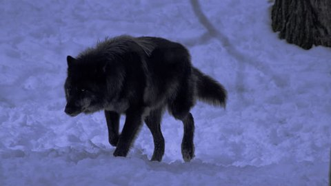 Black wolf stalking at night in winter forest