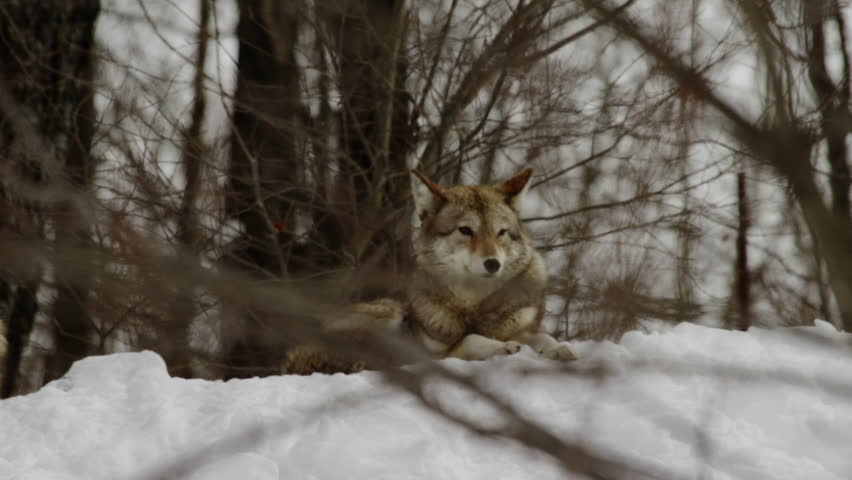 Coyote in the forest rack focus from trees to face