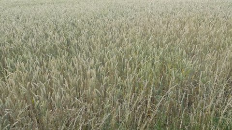 Field of wheat in Limburg area, in The Netherlands