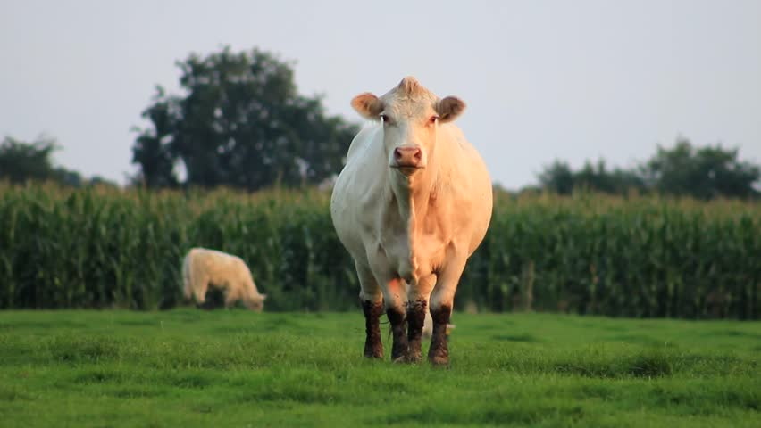 A white cow watches in camera and begins to walk