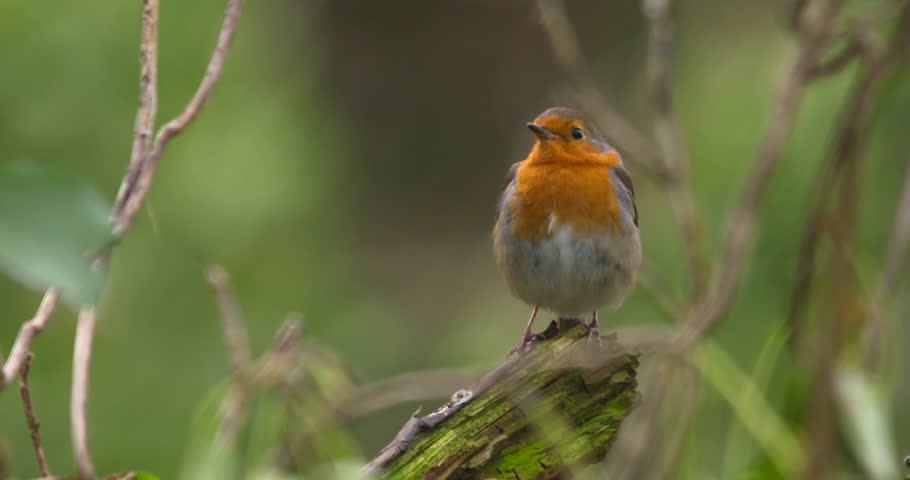 Robin bird perched on forest branch close up slow motion | Shutterstock HD Video #1009124264