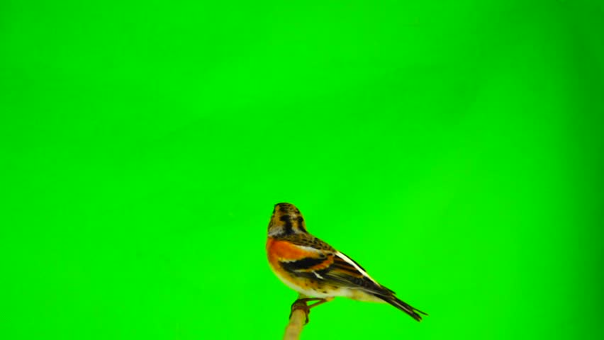 Slow motion, Brambling (Fringilla montifringilla) sits on a branch and flies away, isolated on a green screen