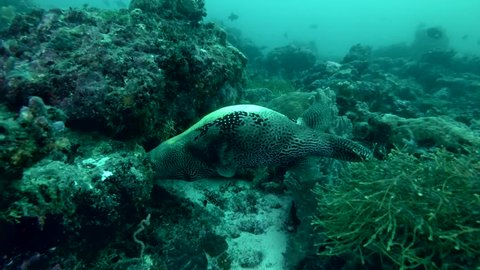 Big Map Puffer eating coral