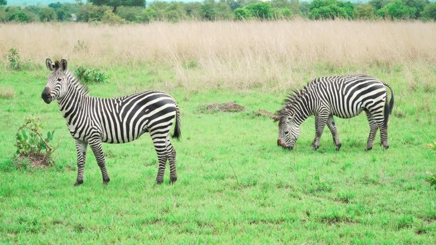 Small group of zebras are eating green grass in savannah. Mikumi National Park, Tanzania.