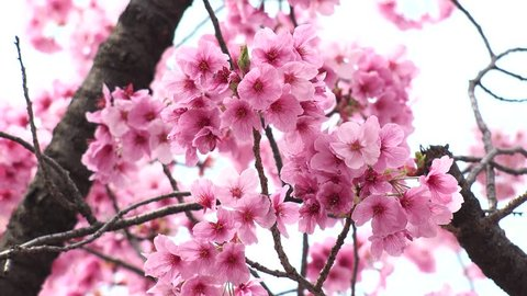 UENO,  TOKYO,  JAPAN - CIRCA MARCH 2018 : SAKURA (Cherry blossom) in UENO PARK.