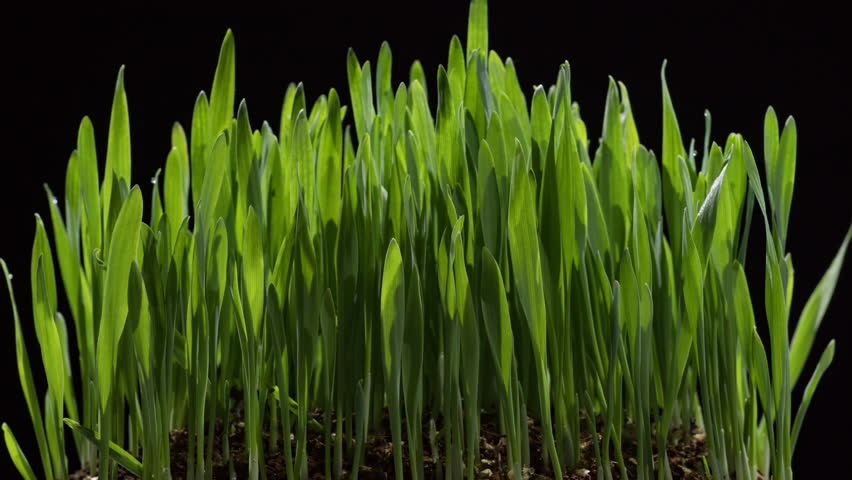 Barley grass growing timelapse on black background. Time-lapse of growing green grass isolated on black background