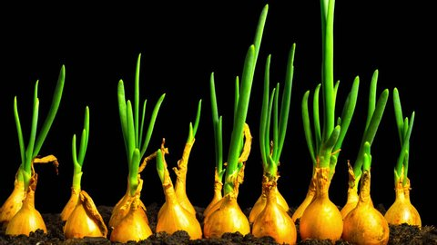 Spring onions growing fast, tilt time-lapse with alpha channel